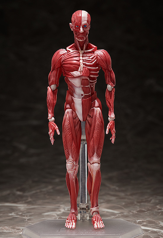 figma Human Anatomical Model